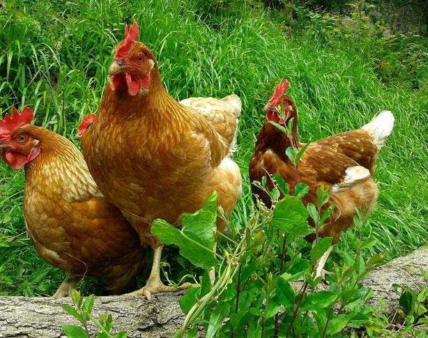 Venda gallines ecòlogiques
